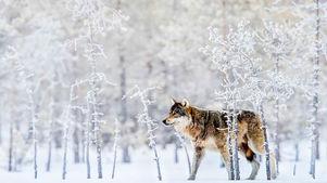 عکس / گرگ برفی در جنگل