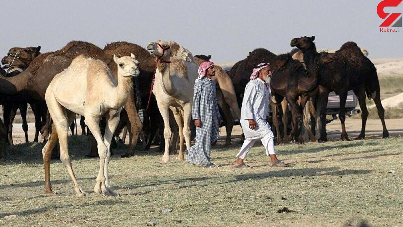 راه اندازی بیمارستان مخصوص شترها در عربستان / 26 میلیون دلار هزینه شد