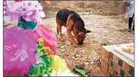 این سگ باوفا هرروز سر خاک صاحبش عزاداری می کند+ عکس