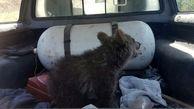 نجات توله خرس زخمی در گرگان + عکس