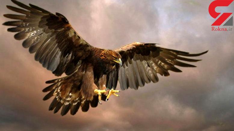 لحظه بی نظیر  شکار عقابها را در این فیلم ببینید