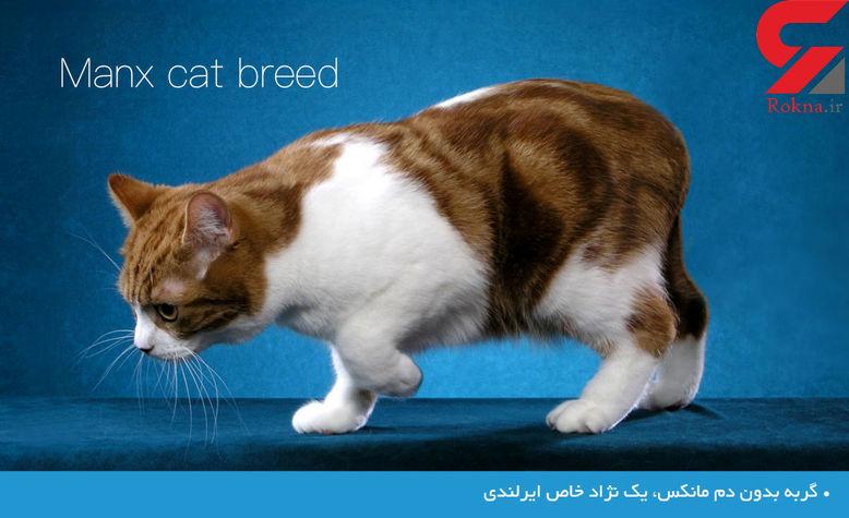 گربه بدون دم؛ یک نژاد خاص ایرلندی