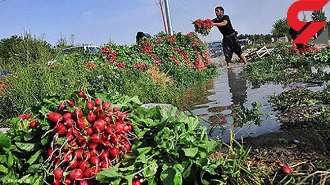 نابودی مزارع جنوب تهران با آبیاری فاضلاب/ وضعیت مزارع در حالت بحرانی