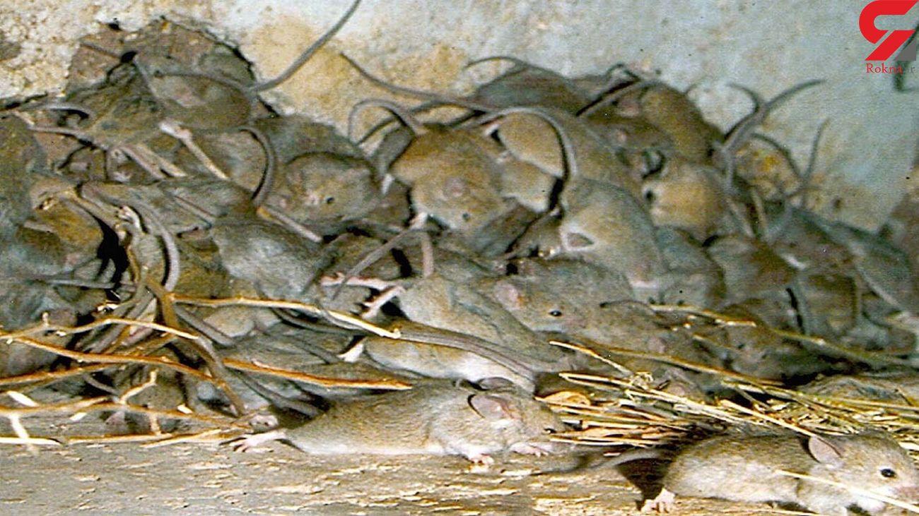 حمله موش ها به یک خانه + فیلم