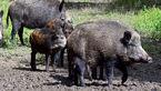 حمله گرازهای وحشی به زمینهای کشاورزی
