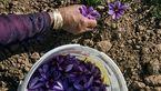 قیمت زعفران۱۵۰ هزارتومان کاهش یافت