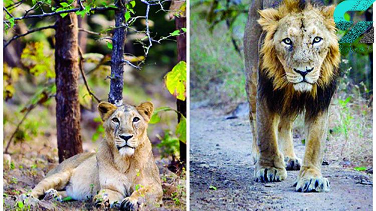 کامران و هیلدا دو شیر ایرانی در باغ وحش ارم با هم آشنا شدند! + عکس