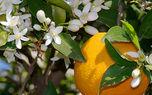 دیازپام طبیعی به نام بهار نارنج