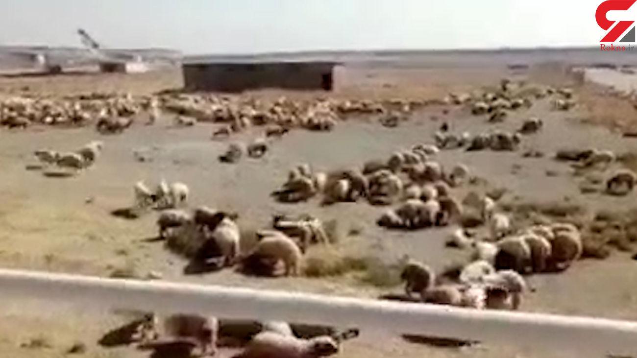 فیلم دیده نشده از هواپیما حامل صدها گوسفند در فرودگاه امام خمینی (ره)