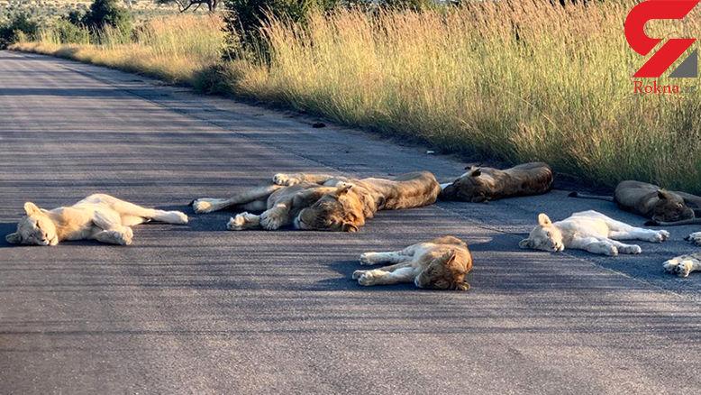 عکس های دیدنی از شیرهای خوابیده در جاده / حمام آفتاب سلطان جنگل