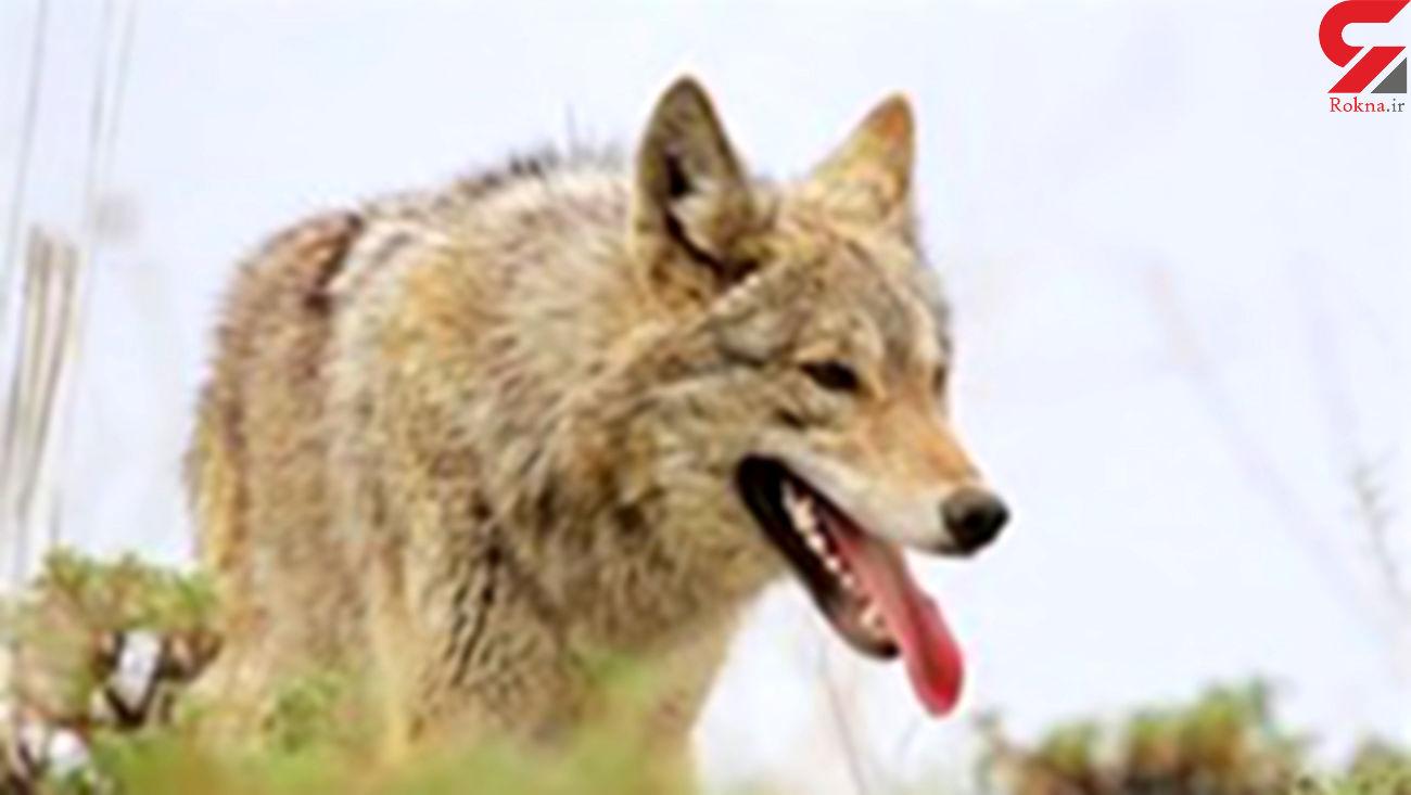 گرگ ها 4 مرد زنجانی را تیکه پاره کردند