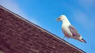 یک زن و شوهر از ترس مرغ های دریایی یک هفته در خانه حبس شدند ! / در بریتانیا اتفاق افتاد