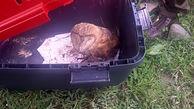 بازگشت یک جغد انبار در لنگرود به زیستگاه طبیعی اش