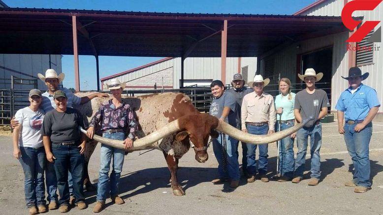 یک گاو 6 ساله آمریکایی رکورد گینس را زد + عکس