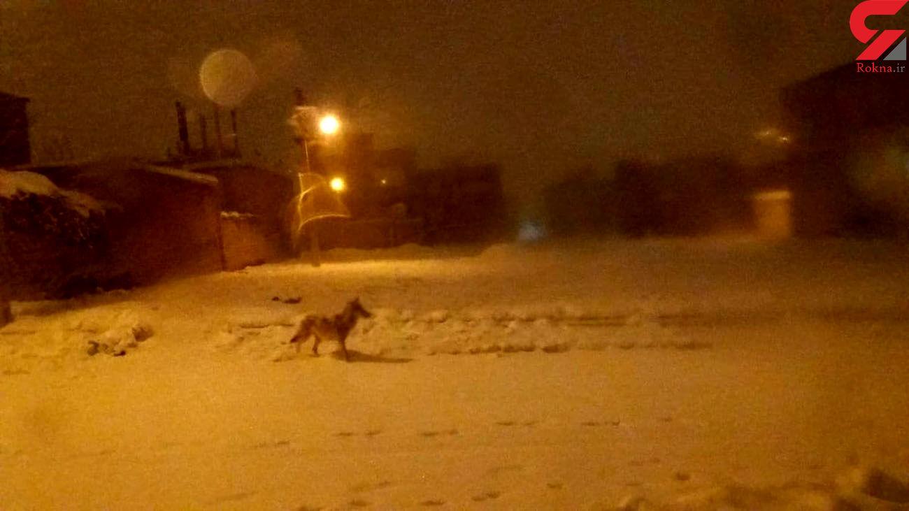 حمله گرگها به شهر سقز +عکس