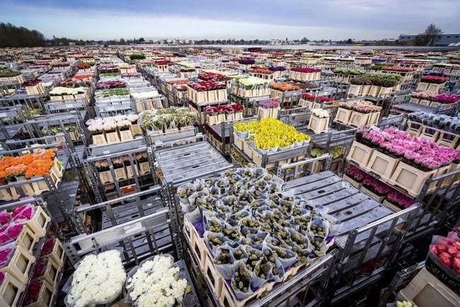 علت معدوم کردن میلیونها شاخه گل در هلند