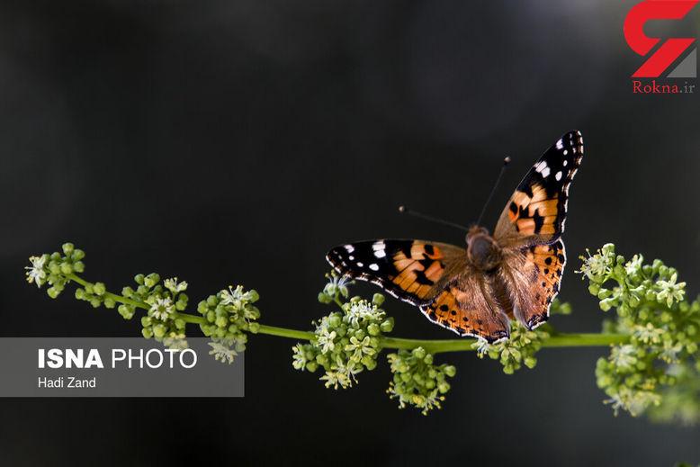 طول عمر حیوانات چقدر است / جزییاتی از شناختن پروانه هایی که به تهران آمدند+ تصاویر