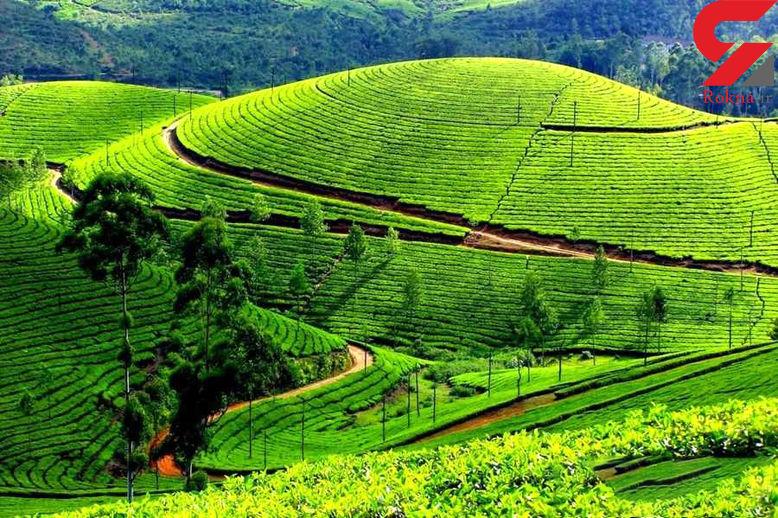 تولید 90 درصد چای کشور در گیلان