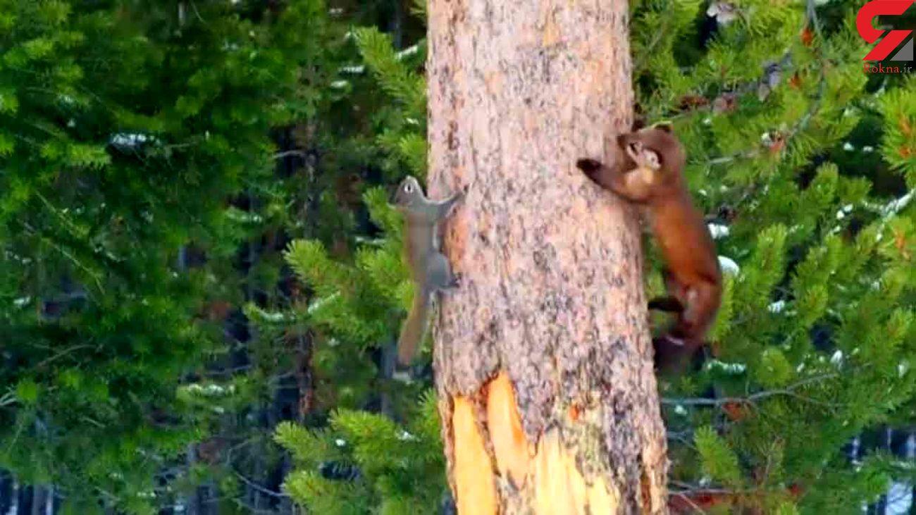 لحظه شکار شدن سنجاب پس از 45 دقیقه + فیلم