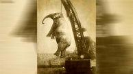 داستان فیلی بی گناه که به جرم قتل به دار آویخته شد