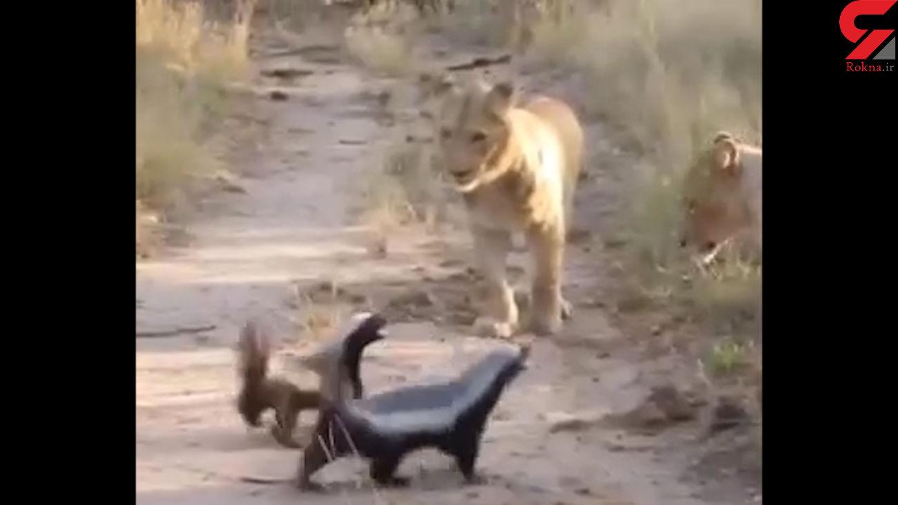 فیلم رجزخوانی یک حیوان کوچک مقابل شیر ماده + عکس