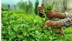 احتمال افزایش 10درصدی تولید چای در سالجاری