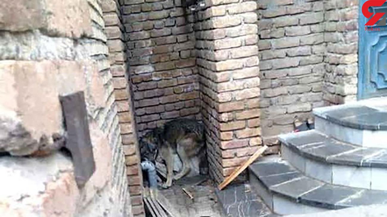 جولان 6 گرگ وحشی در خیابان های ارومیه / زنده گیری یک گرگ در خانه مسکونی + عکس