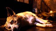 سگکشی تکاندهنده با سم در مریوان / قبلا شهرداری با گلوله سگ می کشت !