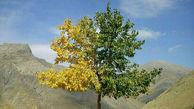 درخت عجیب و زیبای دو رنگ
