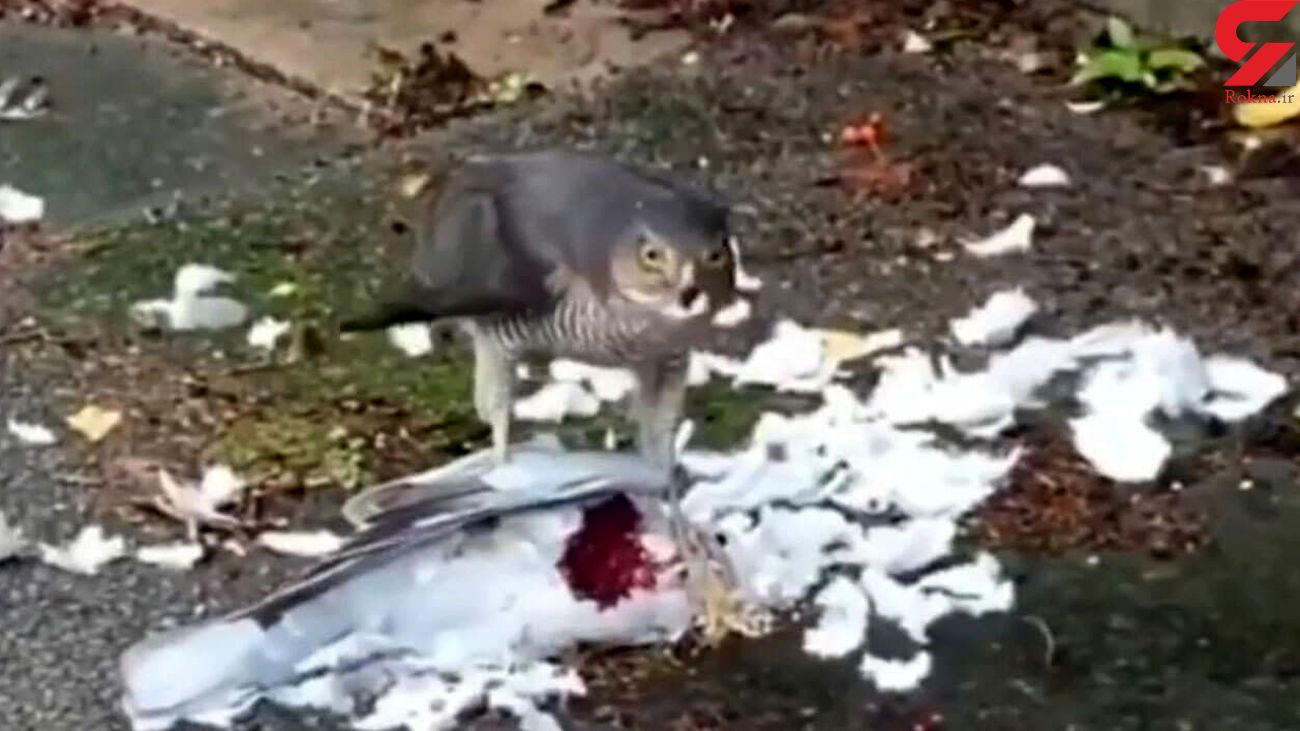 فیلم شکار دردناک کبوتر توسط شاهین