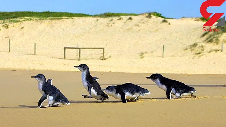 راه سرپوشیده برای کوچکترین پنگوئن جهان