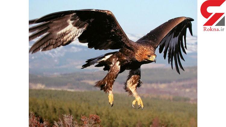 بیست سال مهاجرت یک عقاب از روسیه تا آفریقا، بر فراز آسمان ایران