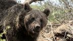 تشکیل نیروهای مردمی برای حفاظت از خرسهای ایران