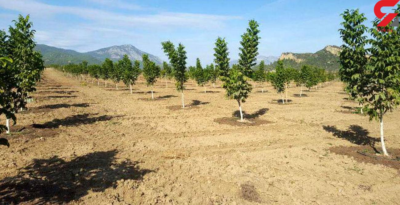 تولید۳۰ هزار نهال گواهی شده گردو در استان همدان