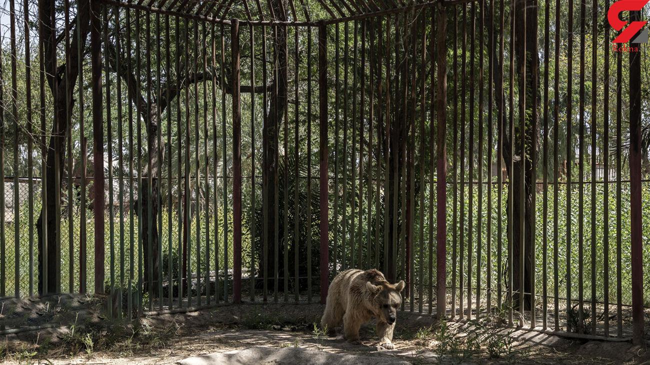 فیلم فرار خرس قهوه ای از باغ وحش هویزه + جزئیات