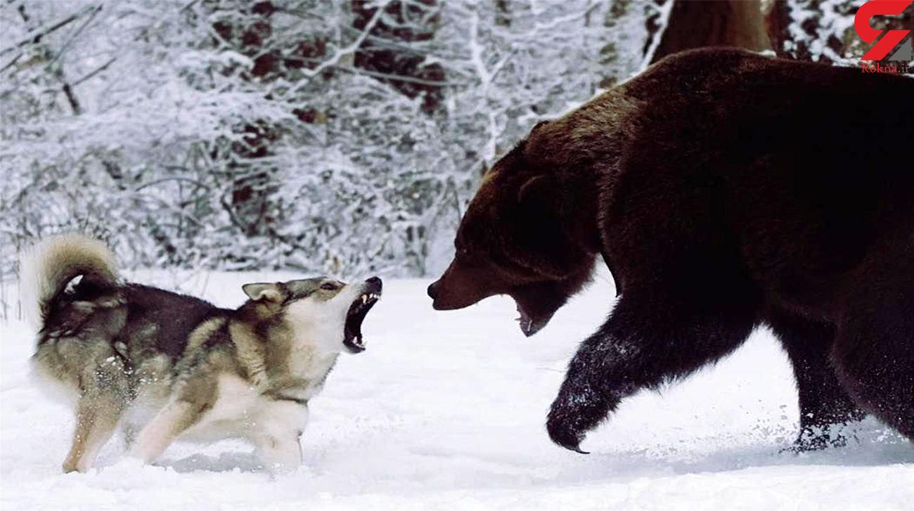فرار خرس گریزلی از دست گرگ سفید + فیلم دیدنی