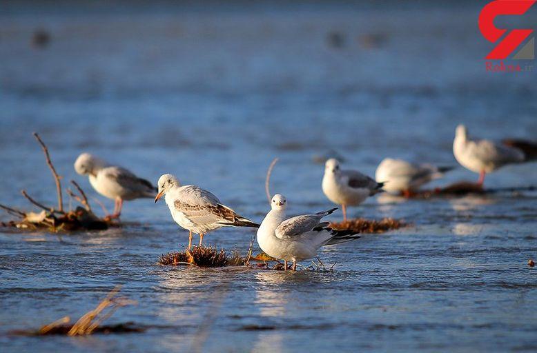 پرندگان مهاجر مهمان تالابهای صومعه سرا شدند