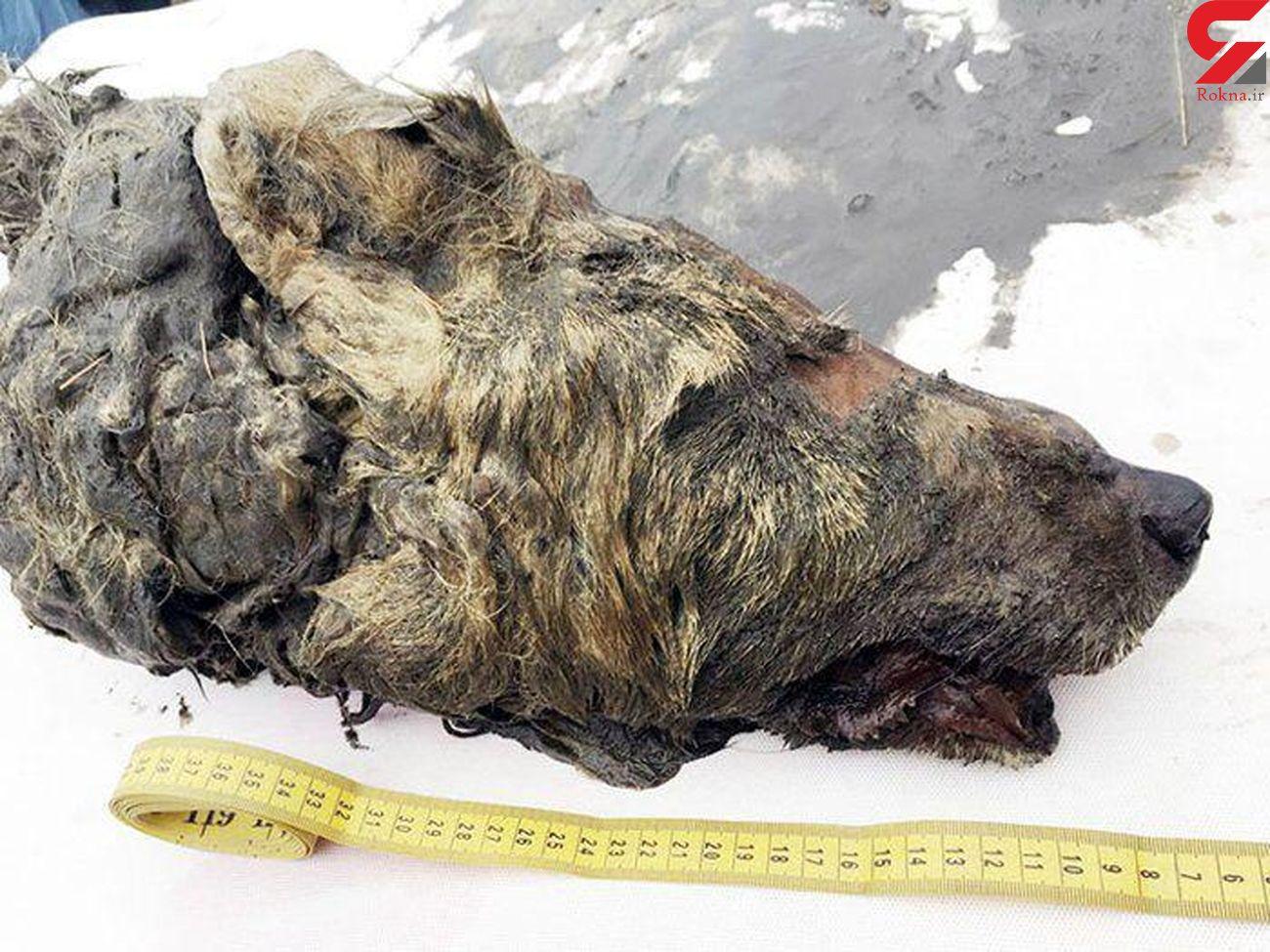 کشف سر 40 هزار ساله گرگ در سیبری