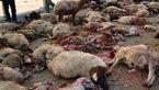 حمله گرگ های گرسنه به یک روستا در بجنورد / 31 گوسفند دریده شدند و 19 گوسفند ناپدید!