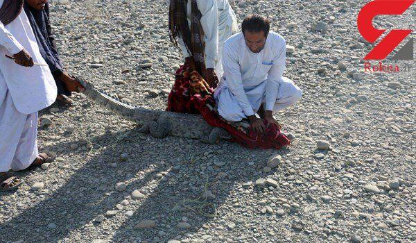 زنده گیری یک سر تمساح سرگردان در شهرستان چابهار