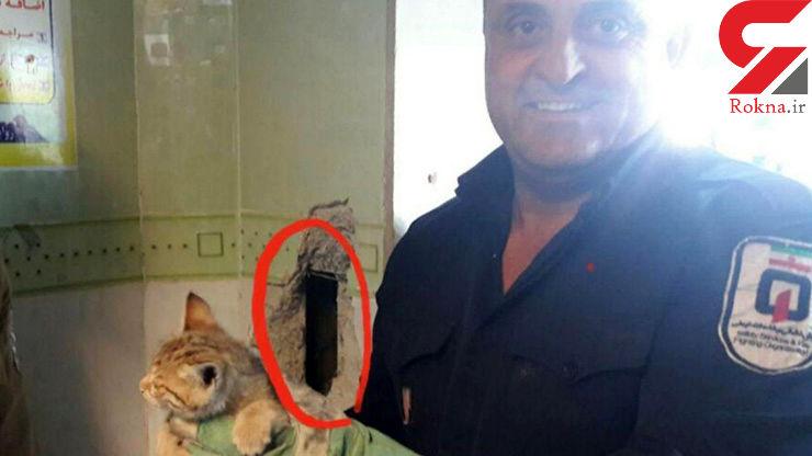 گیر کردن عجیب گربه بازیگوش در دیوار یکی از بیمارستان بوکان +عکس عملیات نجات