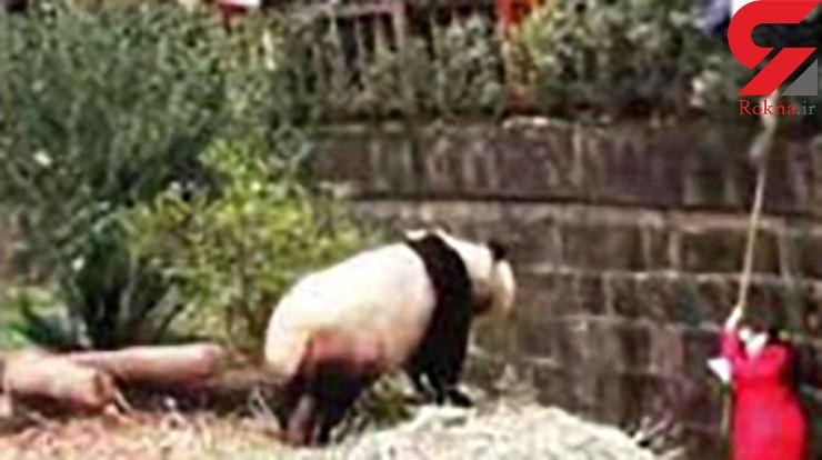 وحشت مردم از سقوط دختر بچه 5 ساله به قفس حیوانات+ فیلم و عکس