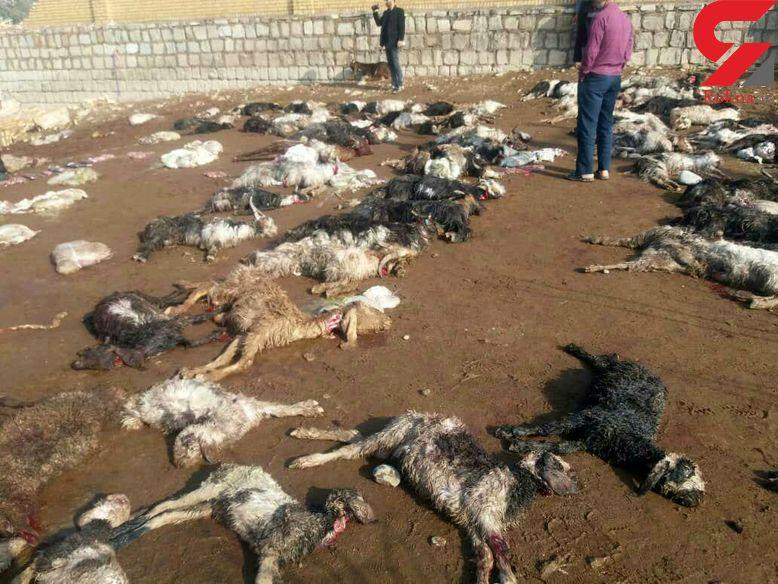 صدها گوسفند بر اثر سیلاب در دزفول تلف شدند+عکس