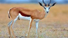 زنگ خطر کاهش جمعیت آهو در منطقه حیات وحش کالمند