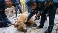 نجات دو خرس گرسنه و خسته از قفس یک رستوران + تصاویر