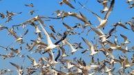 20 گونه پرنده مهاجر وارد آبگیرهای گچساران شدند