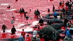 دریا رنگ خون می گیرد از این رسم وحشیانه مردم در جزایر فارو + فیلم و عکس