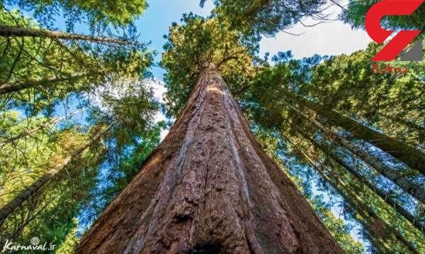 بلندترین درخت جهان که هنوز هم رشد می کند+ عکس