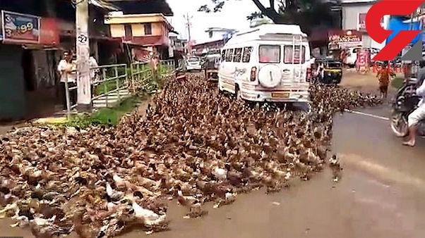 حمله هزاران اردک به خیابان های هند + عکس