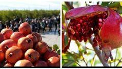 نخستین جشن انار در استان گلستان